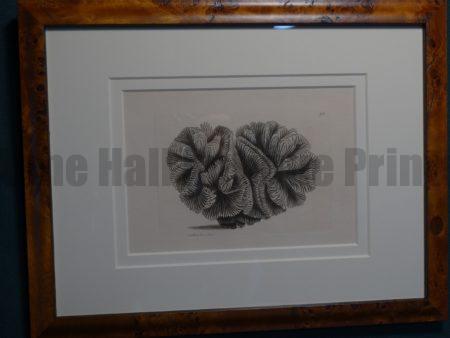 Framed Nodder Coral 711.   Highly detailed hand colored engraving.