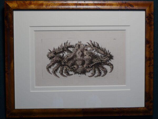 Framed Nodder Crab Engraving.   Wonderful antique hand colored engraving.
