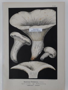antique mushroom lithograph