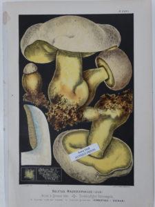rare mushroom lithograph