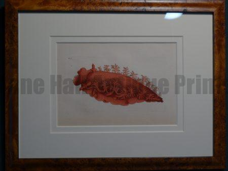Sea Shell Invertebrate Framed Nodder.  Bright deep color applied by hand.   Late 18th Century to the early 1820's.  The encyclopedic work was printed on handmade paper.