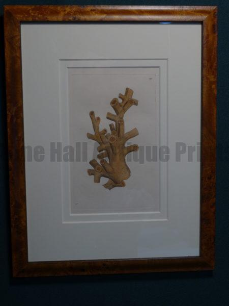 Sea Shell Nodder Coral. A wonderful English hand colored engraving published that dated to circa eighteen hundred. Beautifully framed using archival materials.