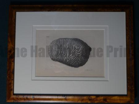 Sea Shell Nodder Coral 855 Framed. A lovely antique hand colored engraving with superior archival framing.