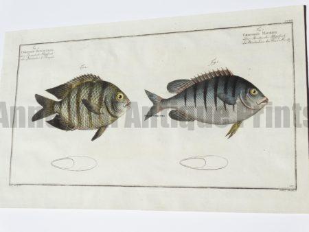 Chaetodon Bengalensis Mauritii
