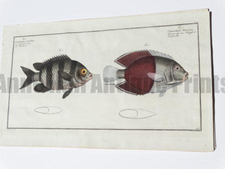 Chaetodon Bicolor Butterflyfish