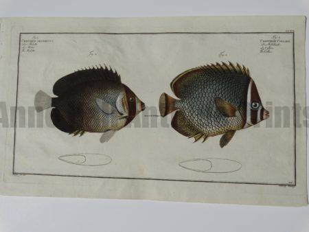 Chaetodon Collare Butterflyfish