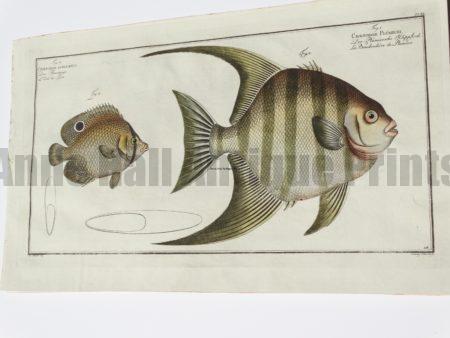 Chaetodon Plumiere Curacoo Angelfish