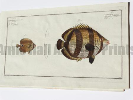 Chaetodon Striatus Banded Butterflyfish