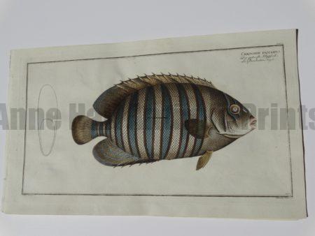 Chatetodon fasciatus Elieser Bloch