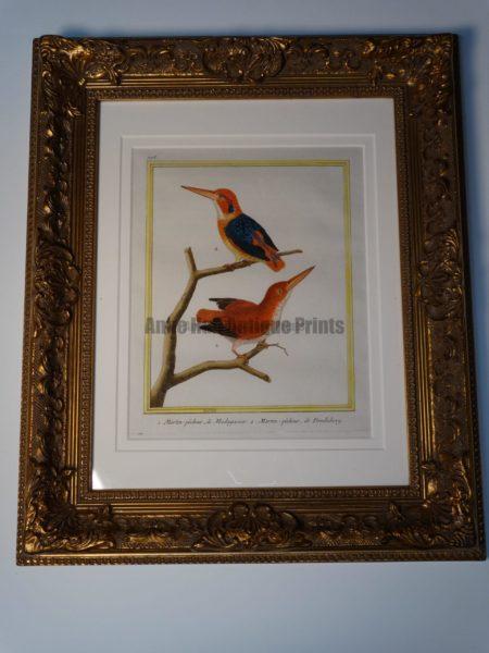 Stunning watercolor kingfishere engraving