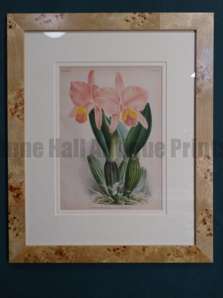 Framed antique lithograph orchid