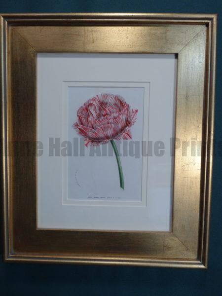 Highly detailed watercolor lithograph of candy striped tulip.