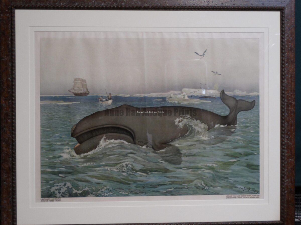 """Giant whale, an antique lithograph, professionally framed with archival materials, in weathered (driftwood like) wood frame. Austrian color lithograph, c. 1900. 46"""" wide x 39"""" high. $2200."""