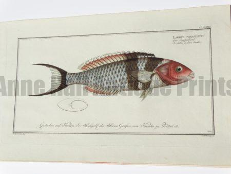 Labrus bifaasciatus Bluehead Wrasse
