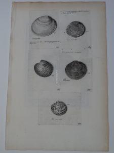 antique shell print