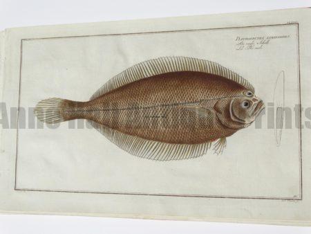 Pleuronectes Limandoides Flounder