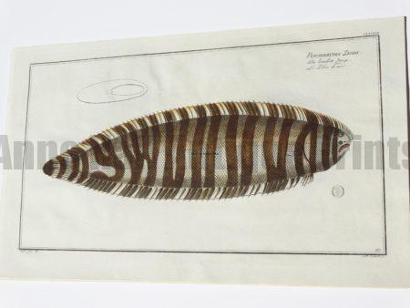 Pleuronectes Zebra Sole