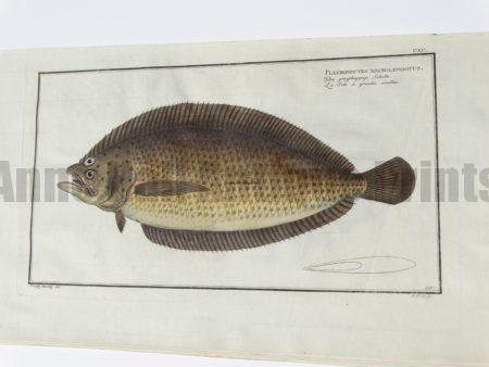 Pleuronectes macrolepidotus Spotted Sole