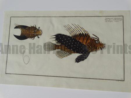 elieser bloch fish engravings scorpaena volitans