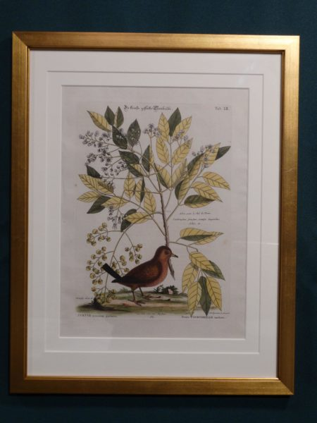 Ground dove or wren, by Mark Catesby, published 1748-1778.
