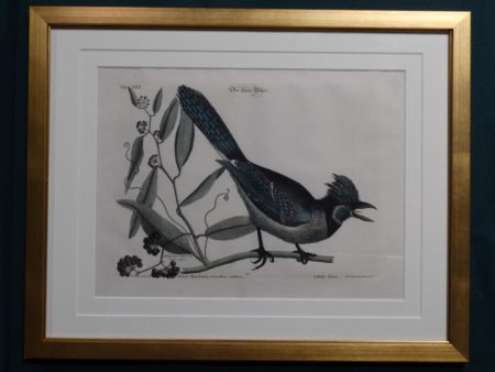 Mark Catesby, Blue Jay engraving in mint condition, archival picture framing.