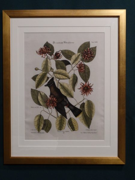 Archivally framed antique bird engraving, Dr. Seligmann and Mark Catesby, Cedar Waxwing.