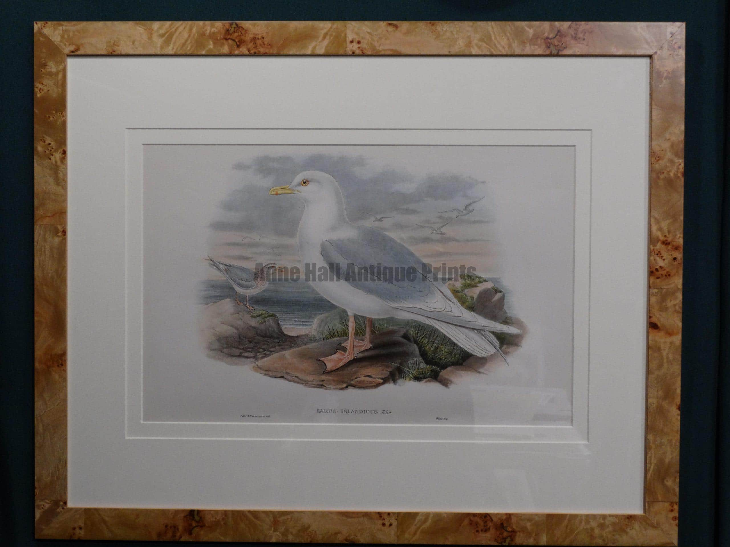 Framed John Gould decorative antique lithograph in fabulous beach style modern, ocean inspired picture frame.