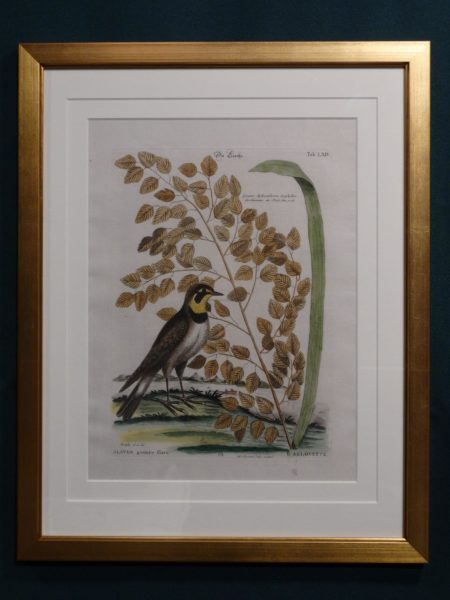 18th century antique, engraving, meadow lark and foliage, Mark Catesby.