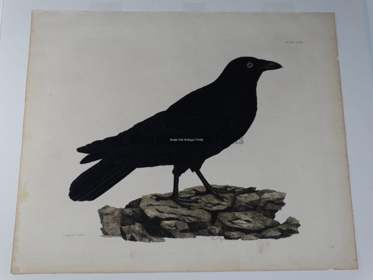 19th century watercolor crow
