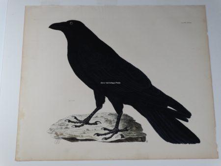 19th century watercolor raven