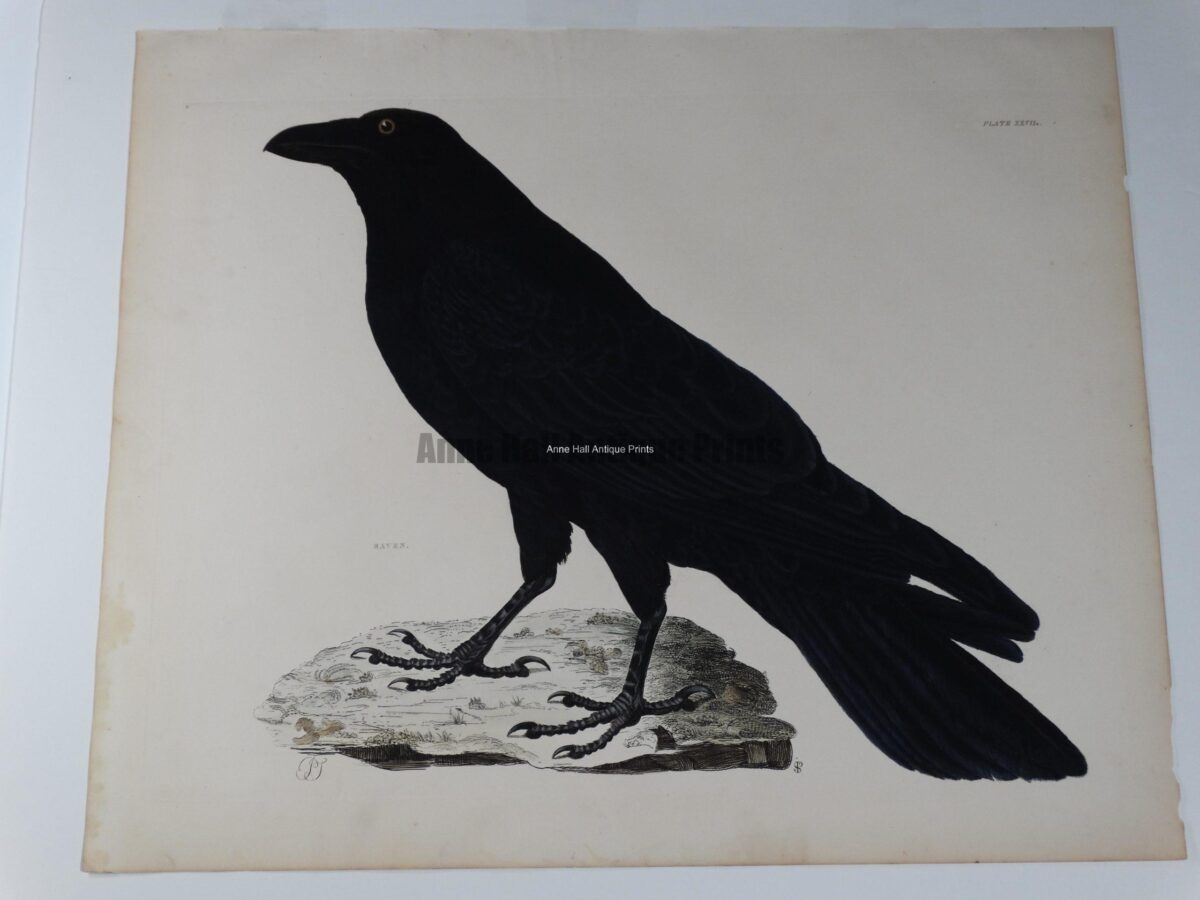 19th century watercolor raven