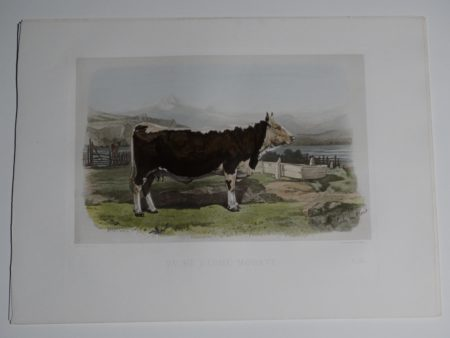 19th century lithograph of a black and white cattle cow or bull.