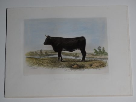 beautiful watercolor lithograph of a female shorthorn cow.