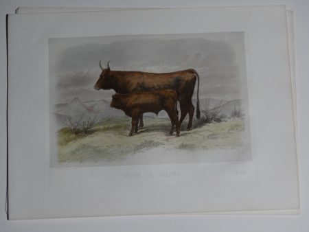 Mother cow with calf. Sourced from a rare 19th century book on cattle races.