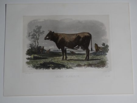 Mid 19th century antique cattle print. Lithograph with watercolors denote Dutch cow.