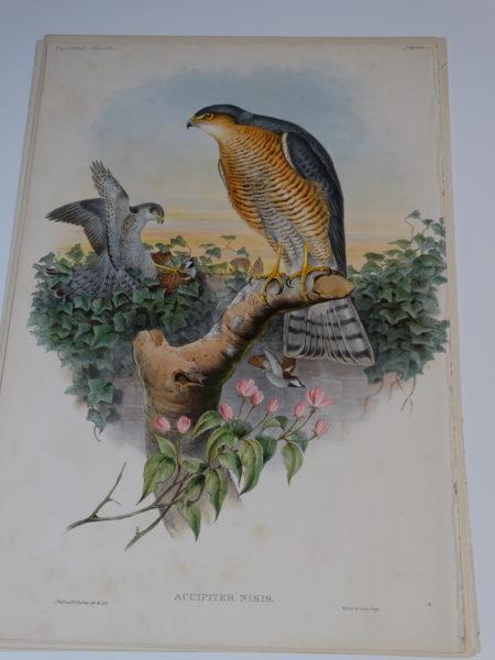 Accipiter Nisis Eurasian sparrowhawk.  Hand colored lithograph published for John Gould's Birds of Great Britain, c.1860.  See photo there is foxing.