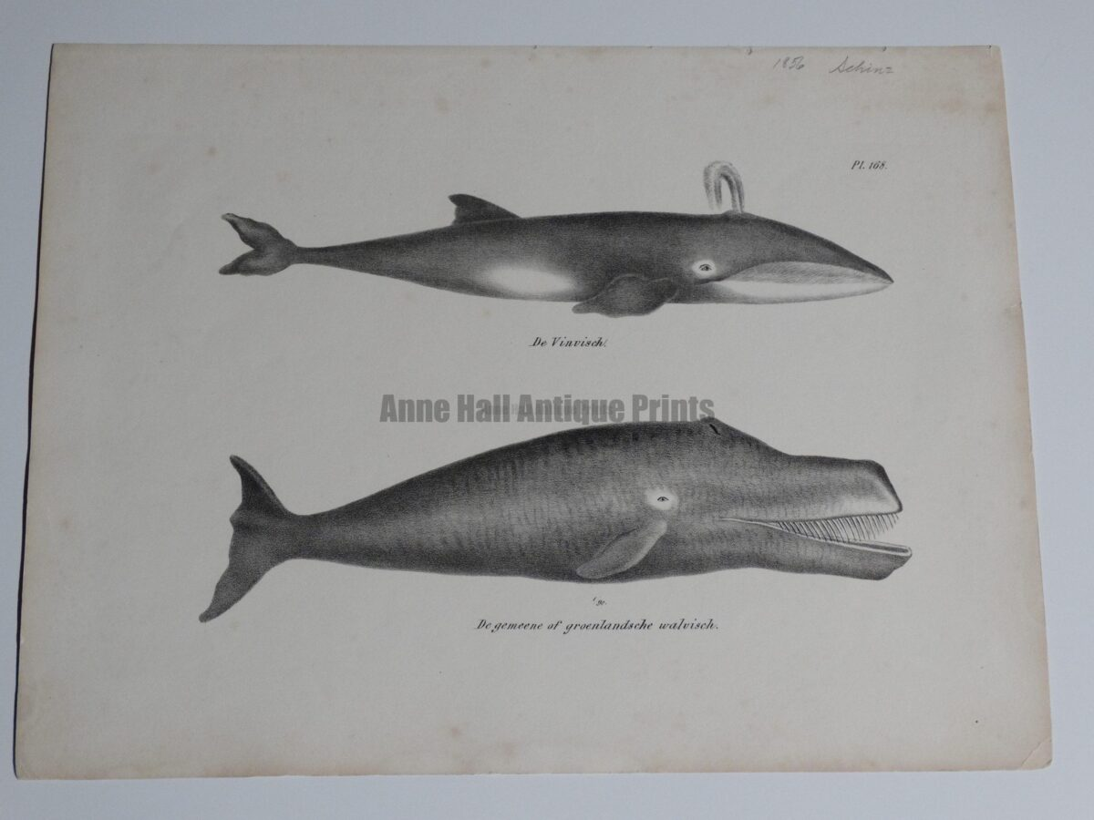 spouting Greenland whale, antique lithograph from 1856.