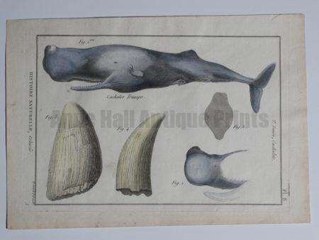 whale whales tooth engraving