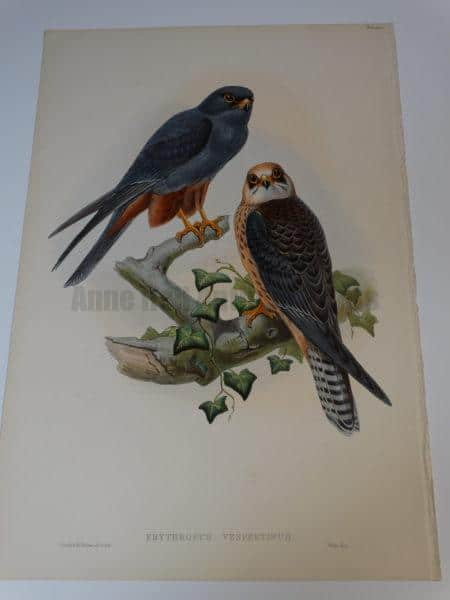 """Erythropus Verspertinus Orange Legged Hobby.  A stunning John Gould water colored lithograph for Birds of Great Britain and measuring 14 1/2 x 21 1/2"""""""