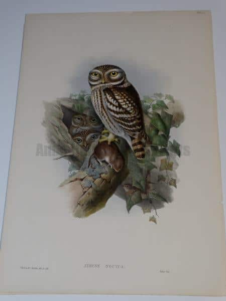 Little Owl-Athene Noctua by Wolf from John Gould's Birds of Great Britain, c.1860, English hand colored lithograph of mother or father little owl, with a feast for their owlets in a tree cavity.
