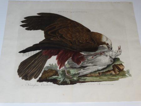 "Marsh Harrier Milvus Aruginosus 1170-1829  Cornelius Nozeman Christian Sepp & Martin Houttyn Nederlandsche Vogelen.  Water colored copper plate engraving on hand made hand laid linen rag, Double folio, centerfold.  21 1/2 x 27""  $750."