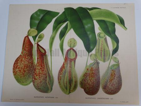 Beautiful hand finished color lithograph of a carniverous pitcher plant.