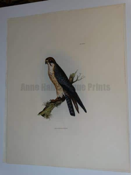 """Selby Red Legged Hobby Engraving published by Lizars in London from 1817-1834 for John Prideaux Selby.  Water colored copper plate engraving on J Whatman paper.  20 1/2 x 25 1/2"""""""