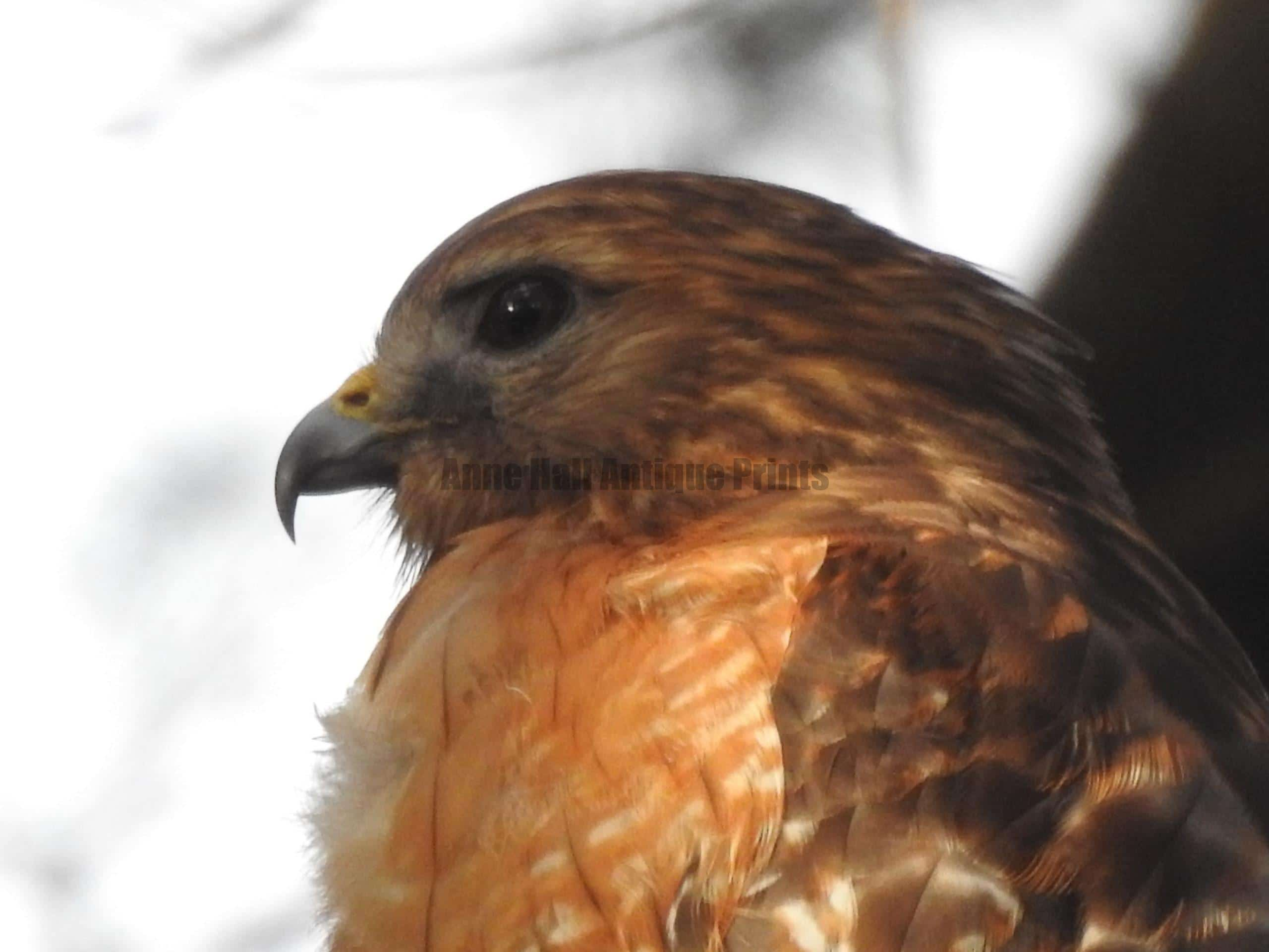 See Anne Hall's collections of art at the Southeastern Wildlife Exposition.  Sewe. February 17-20 2022. in the Galliard Center, Charleston, SC. Wildlife photography is a serious passion for naturalist Anne Hall. She studies birds in historic antique prints and real life. Here, a stunning photo by Anne, of a red shouldered hawk.