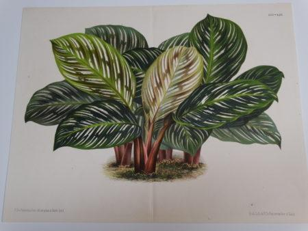 Beautiful 19th century lithograph of a house prayer plant.