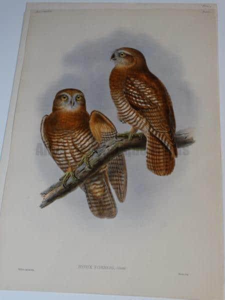 Exquisite & decorative antique hand colored lithograph c.1860 of Tanimbar boobook hawk-owl of Indonesia, Birds of Australia.