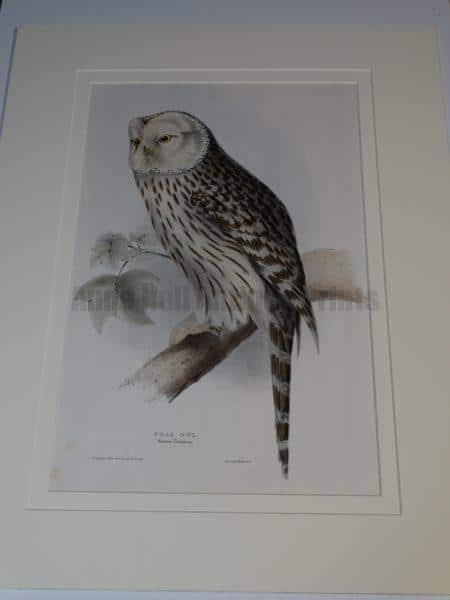 Antique Owl Watercolor