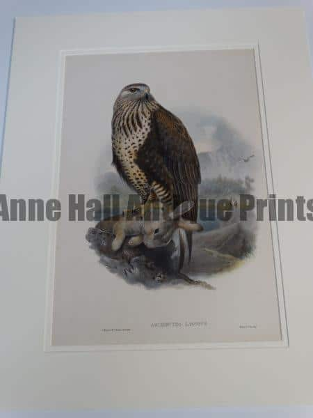 """Archibuteo Lagopus Raptor Hawk or Ruff Legged Hawk with Rabbit.  A wonderful English hand colored lithograph published in London 1863-1873 for John Gould's monumental """"The Birds of Great Britain."""