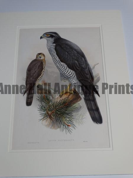 """Gould Goshawk Astur Palumbarius.  A wonderful English hand colored lithograph published in London 1863-1873 for John Gould's monumental """"The Birds of Great Britain."""