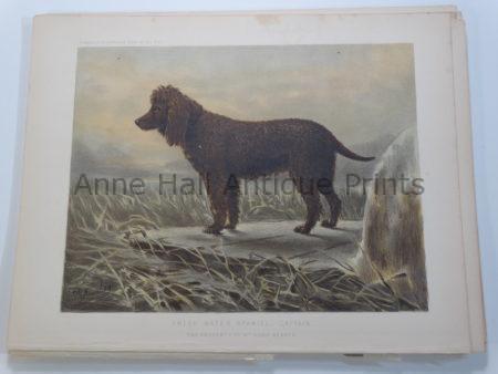 19th Century Irish Water Spaniel Captain Bloodline